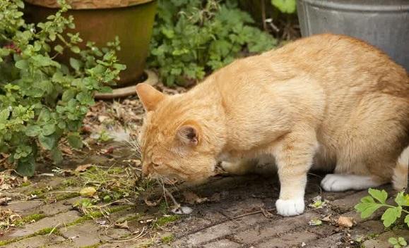 Penyebab dan Cara Mengatasi Kucing Muntah