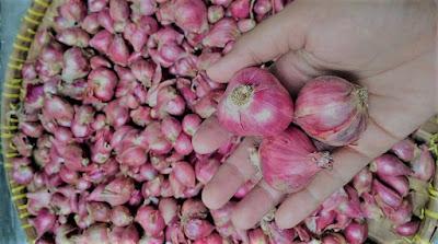 Jenis varietas Bawang Merah Yang Perlu Anda Ketahui