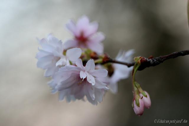 prunus autumnalis floraison printanière arbre