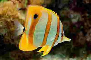 jual Ikan kepe monyong