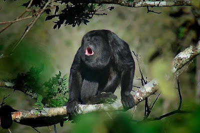 Figure: Which species of monkey is this?