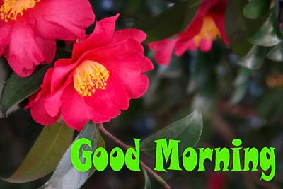 Good Morning Wishes with Camellia Flowers