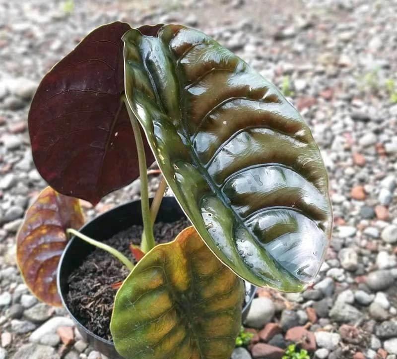 tanaman hias alocasia
