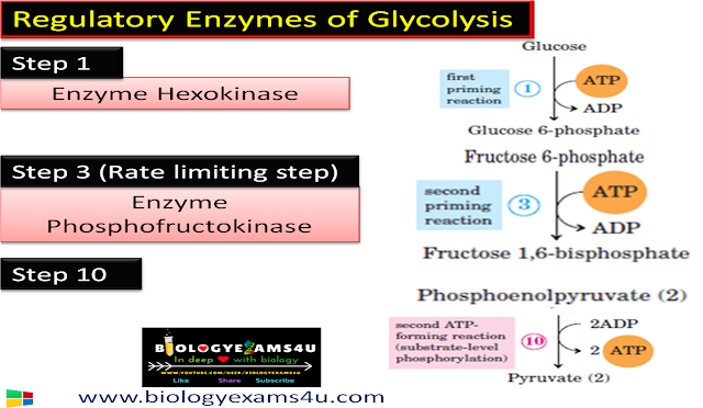 3 Regulatory Enzymes and rate limiting step of Glycolysis
