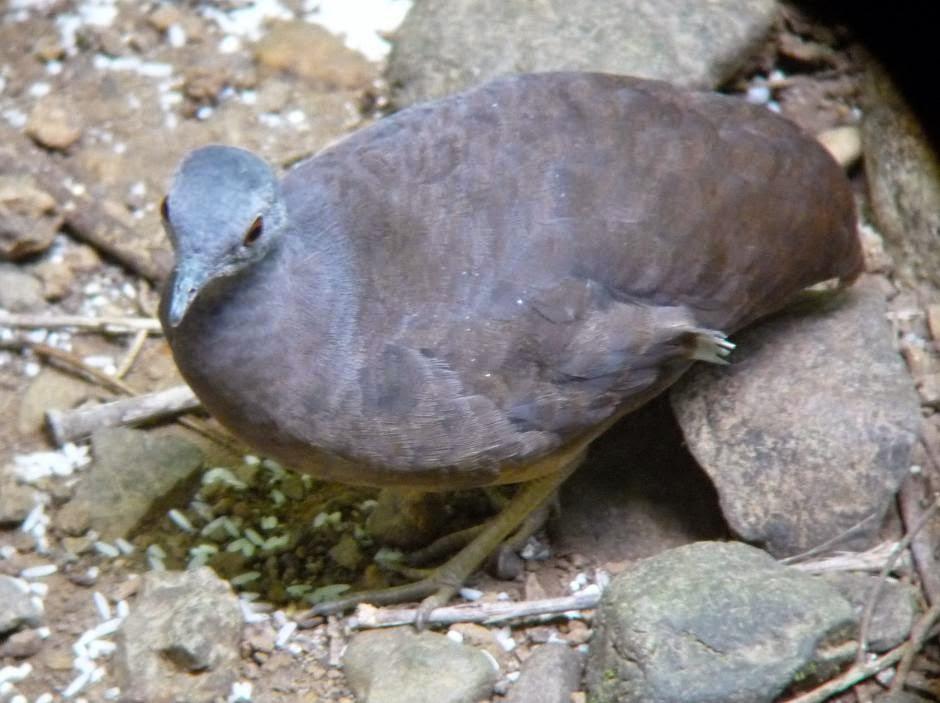 aves poco voladoras de america Tinamu chico