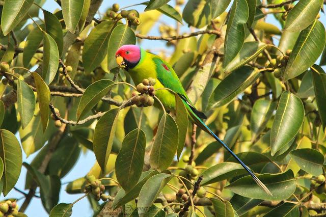 male Plum-headed Parakeet
