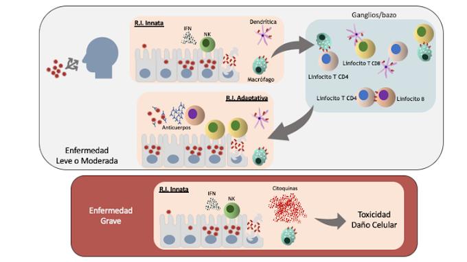 El antivirus más potente contra la COVID-19: nuestro sistema inmune