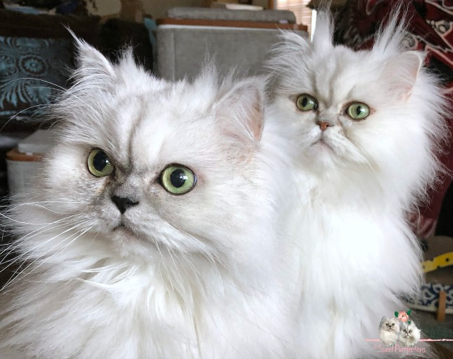 2 silver shaded Persian cats, Truffle and Brulee,. looking toward camera