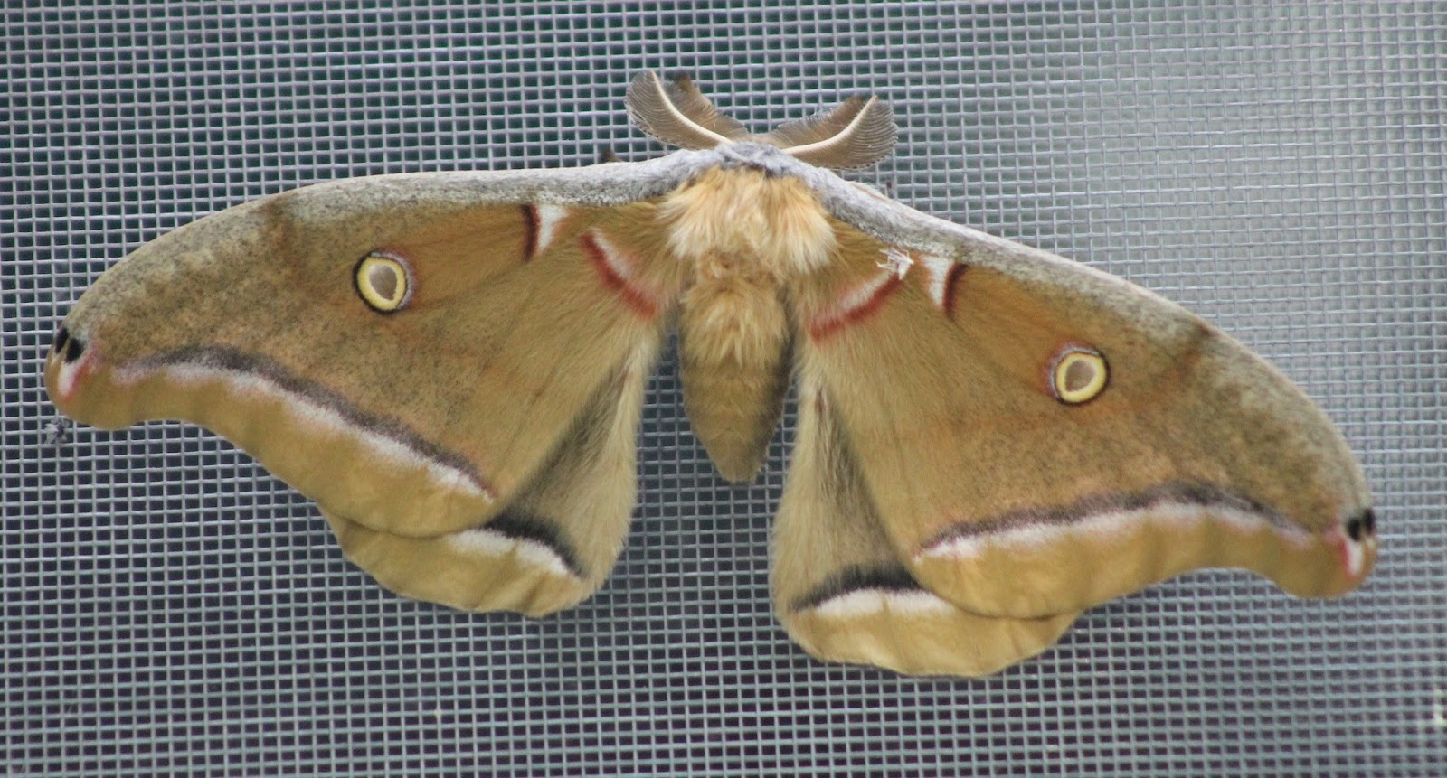 This Past Sunday, My Family And I Awoke To Find A Gigantic Moth On The  Outside Of Our Kitchen Window. It Was A Polyphemus Moth, The Largest U2013 And  The Least ...