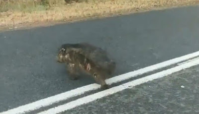 Wombat hangus melintasi jalan
