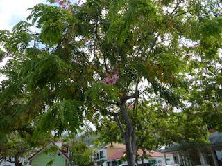 Casse de Java - Cassier de Java - Cassia javanica