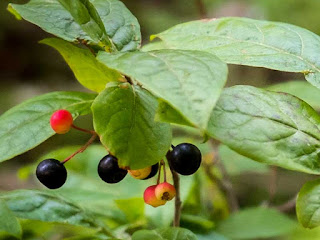 huckleberry fruit images