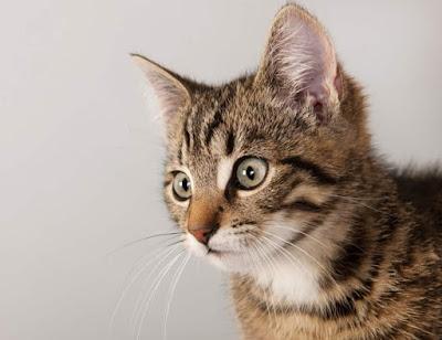 Sejarah Kucing Siprus