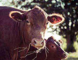 सपने में गाय देखना | sapne mein gaay dekhna