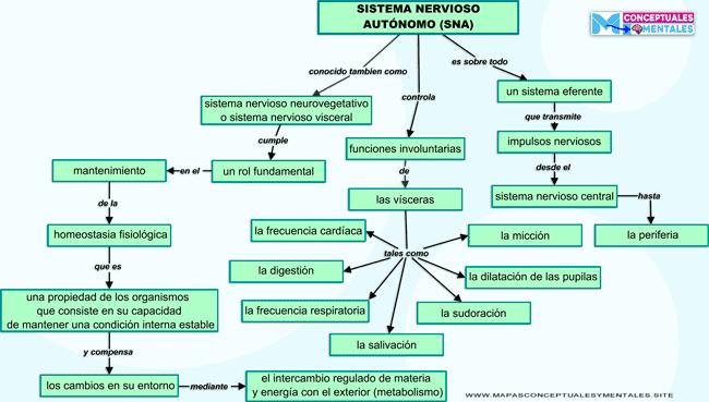 Mapa conceptual del sistema nervioso autónomo