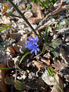 [Asparagaceae] Scilla bifolia – Alpine squill or Two-Leaf Squill