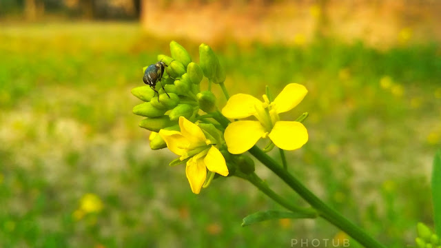 Mustard images