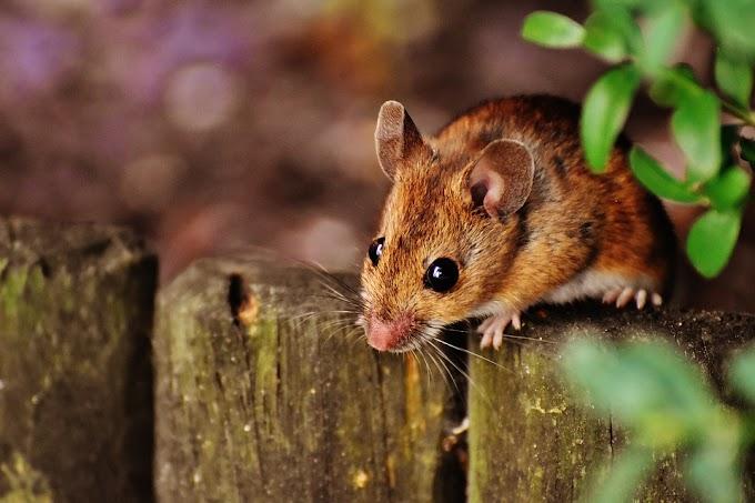 Soñar con roedores
