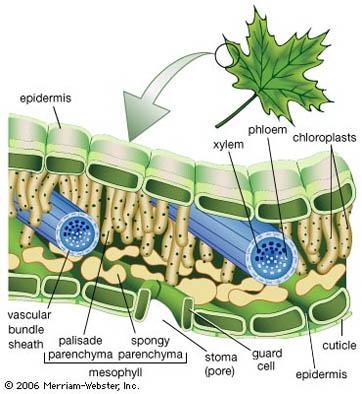 Jaringan Parenkim Pada Tumbuhan Fungsi Ciri Dan Gambar Lengkap