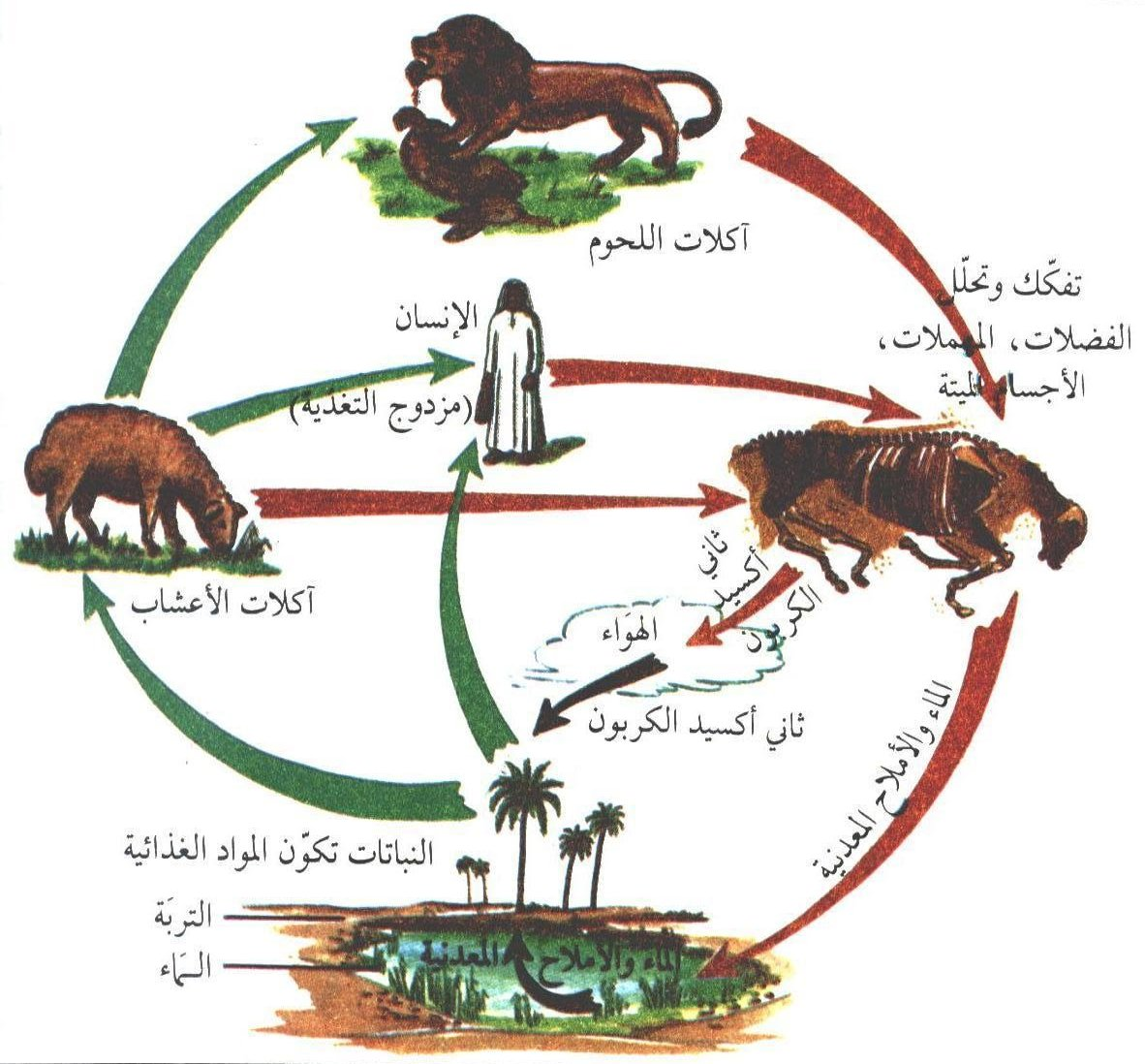 دورة حياة الاسد