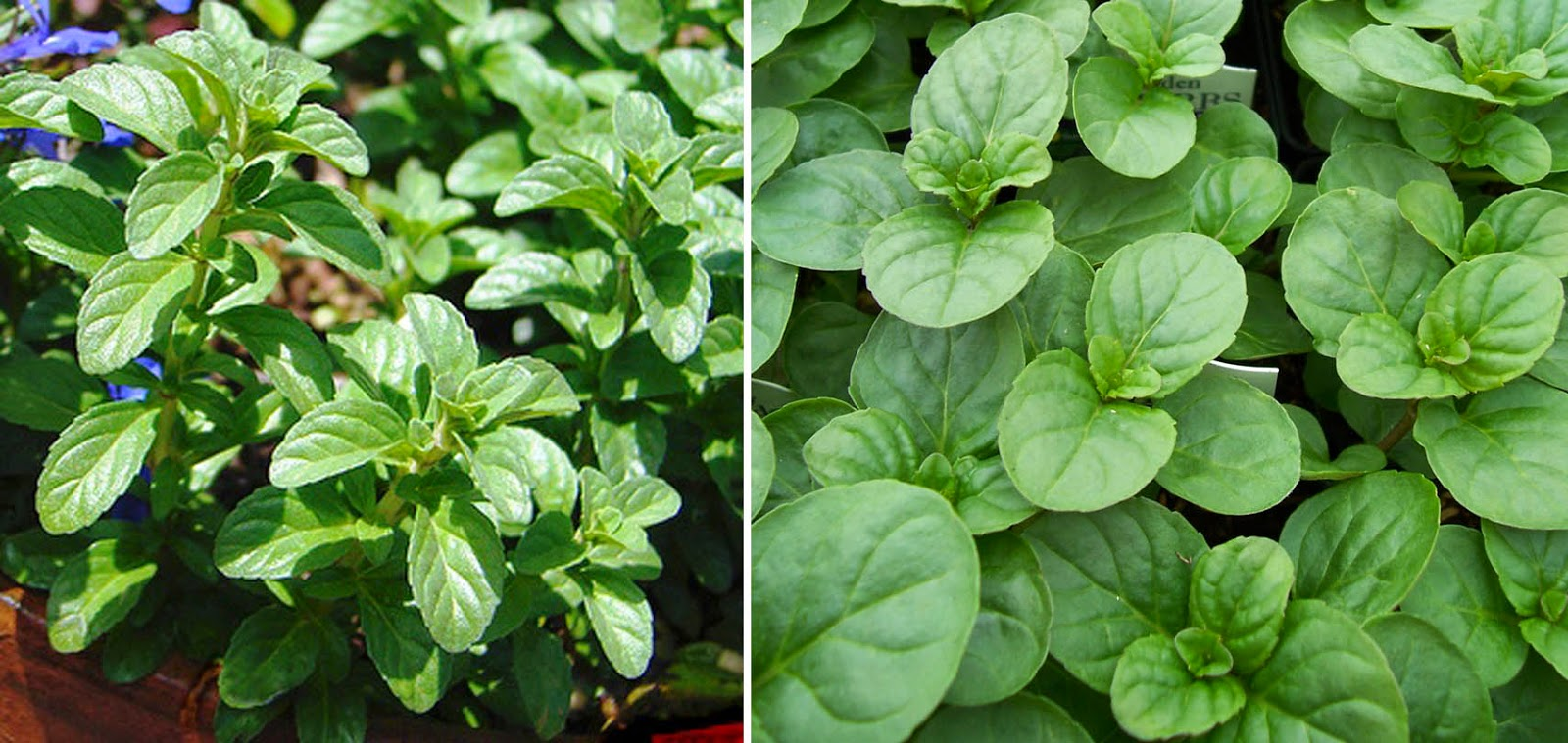 Chemical Composition Of Mentha Pulegium L Pennyroyal: As Many Exceptions As Rules: Cold Keeps You Warm