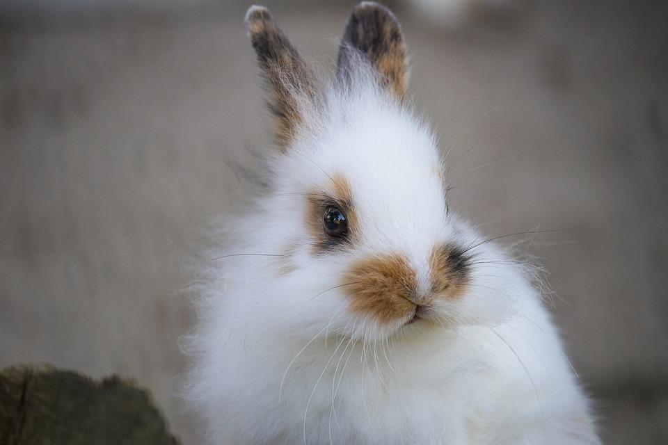 co warto wiedziec przed kupnem królika, ważne informacje o króliku, króliki miniatórki