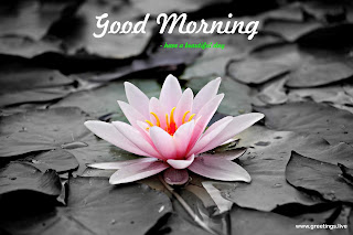 water lily good morning greetings