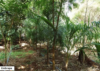 sistemas agroflorestais, saf, agrofloresta, curso online, curso online em agrofloresta, agropecuário, agronomia, produtor rural, embrapa