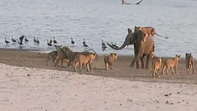 Seekor Anak Gajah Bertarung Sendirian Dengan 14 Singa Lapar, Siapakah Pemenangnya?