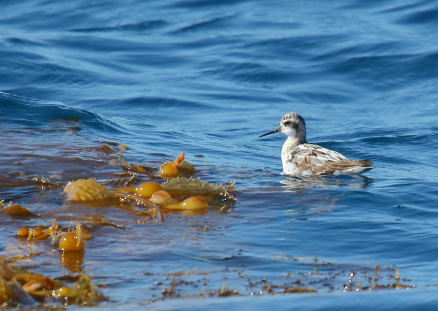 Red-necked Phalarope on kelp paddy
