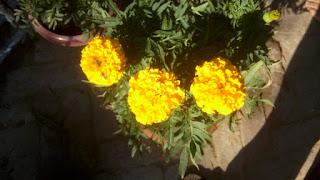 marigold flower 2100