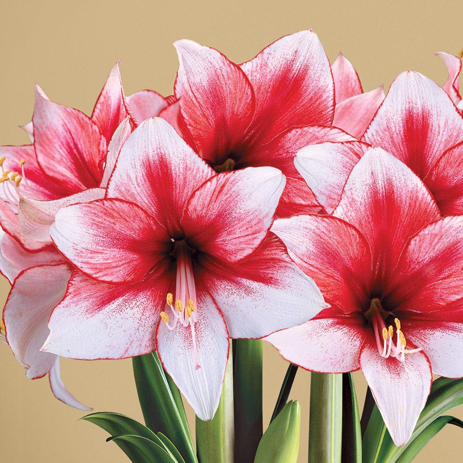 Growing Hippeastrum Amaryllis Bulbs