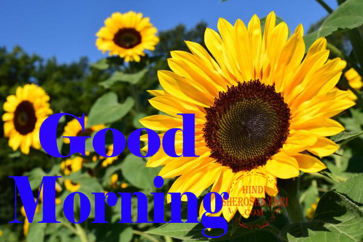 Good Morning Blessings With Sunflower