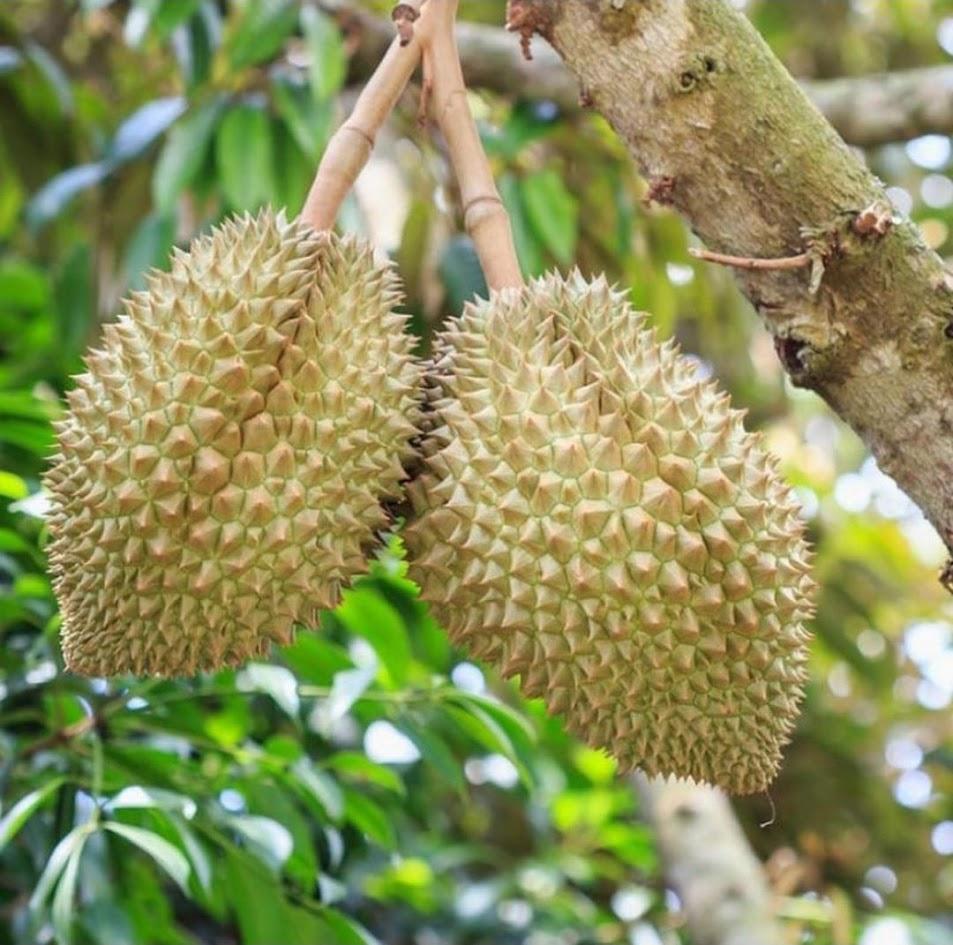 bibit durian montong Bandung