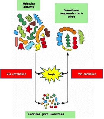 esquema metabolismo celular con el estrés