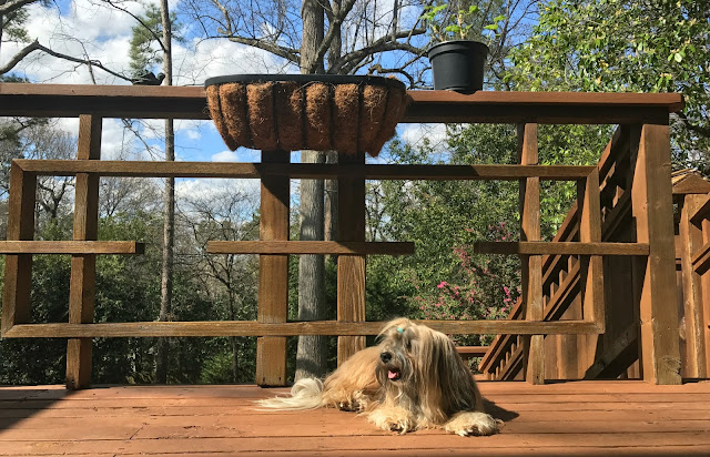 Rocco Havanese Dog sunbathing on deck
