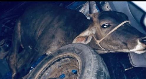 Bezerro furtado é encontrado dentro de carro na RJ-216