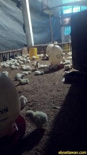 pemeliharaan ayam tradisional