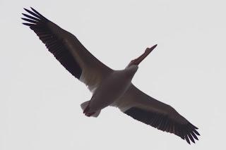 Flying pelican, pelicans, pelican flying