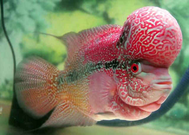 6 Tips Cara Perawatan Ikan Louhan