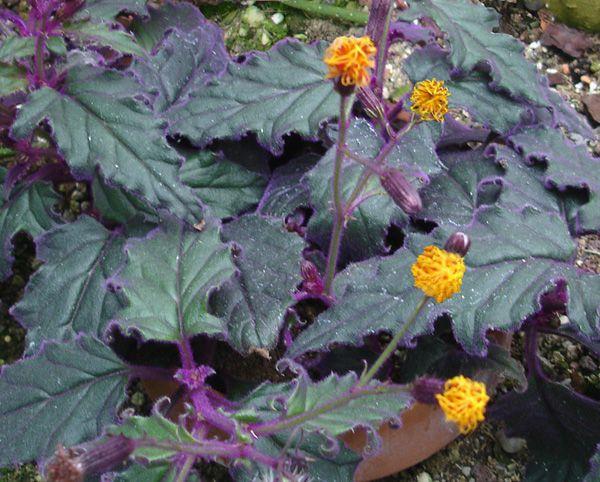 Bầu Đất - Gynura sarmentosa - Nguyên liệu làm thuốc Chữa Cảm Sốt