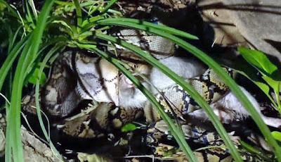 Ular piton telan mangsanya