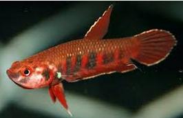 Jenis Ikan Cupang Cantik