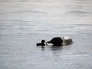 Loon Chick