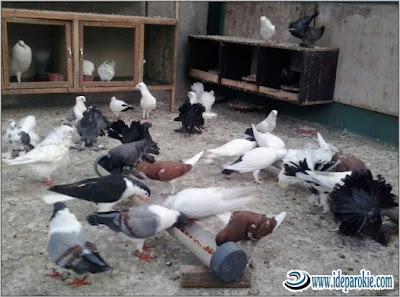 Cara Budidaya dan Ternak Burung Merpati Cepat mudah Menghasilkan