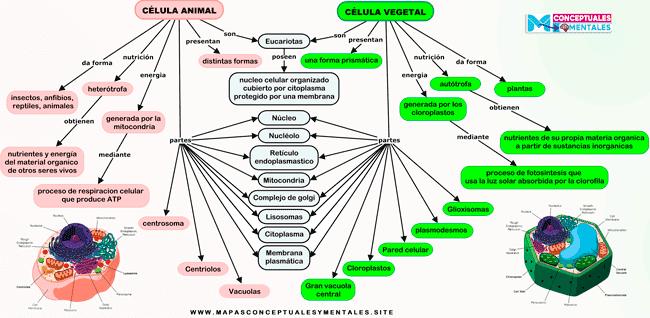 Mapa conceptual de la célula animal y vegetal, sus diferencias y similitudes
