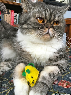 Popoki the cat with her toy