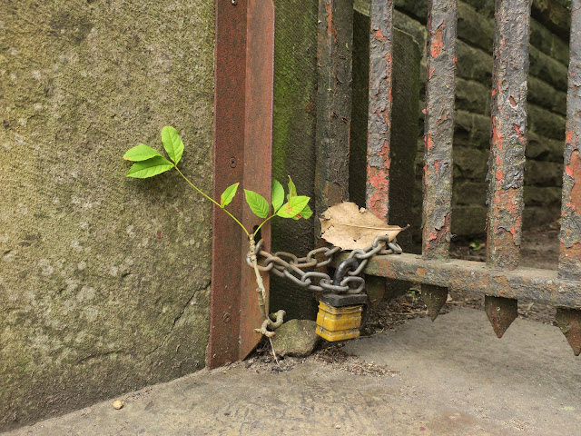Small rose bush growing wild beside chained gate and wall.