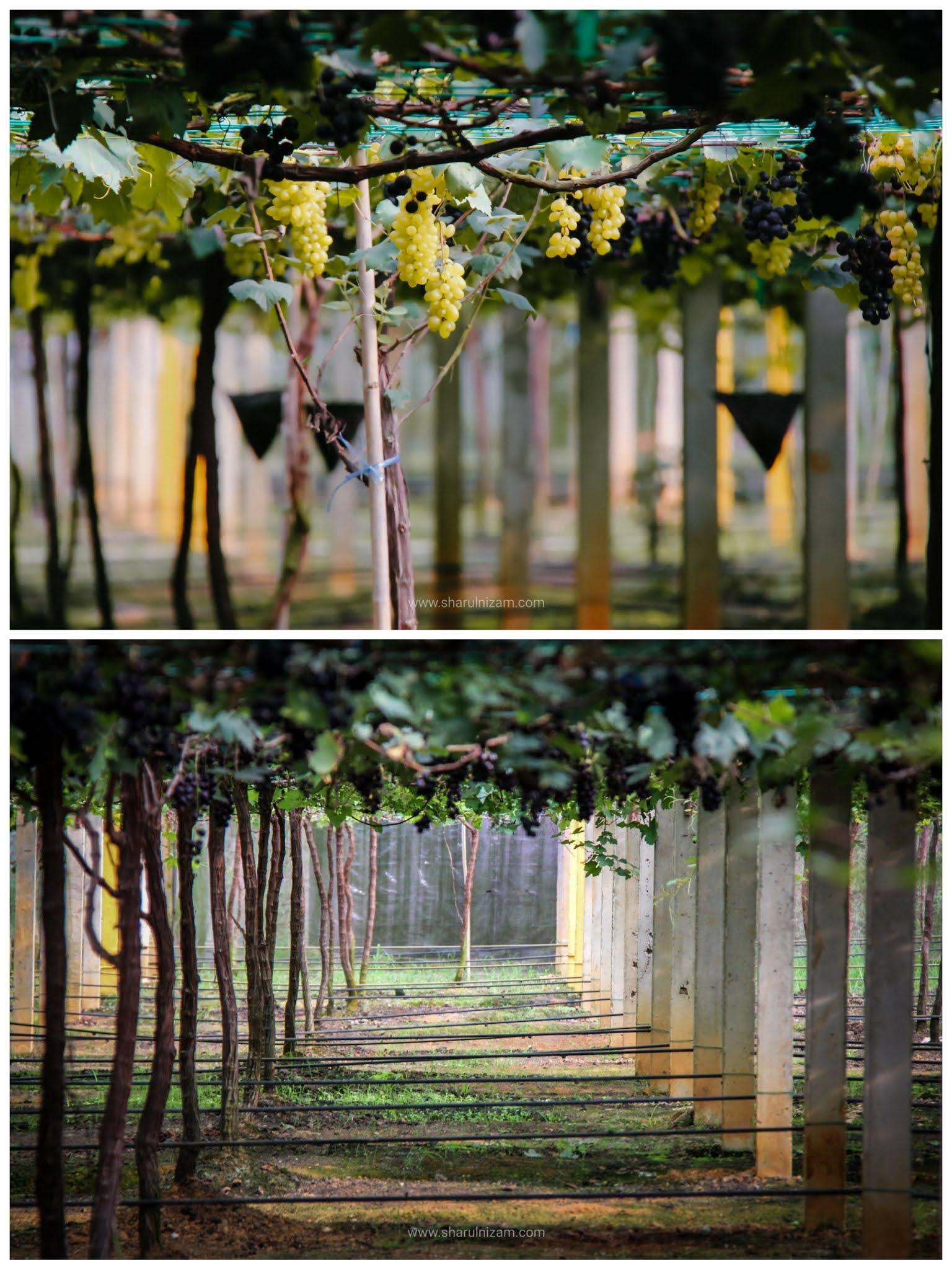 Bercuti Ke Ladang Anggur Tasik Beris, Sik