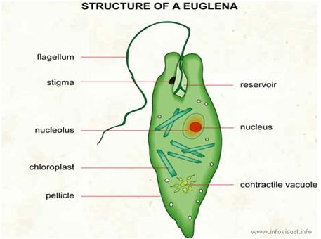 az euglena green parazita